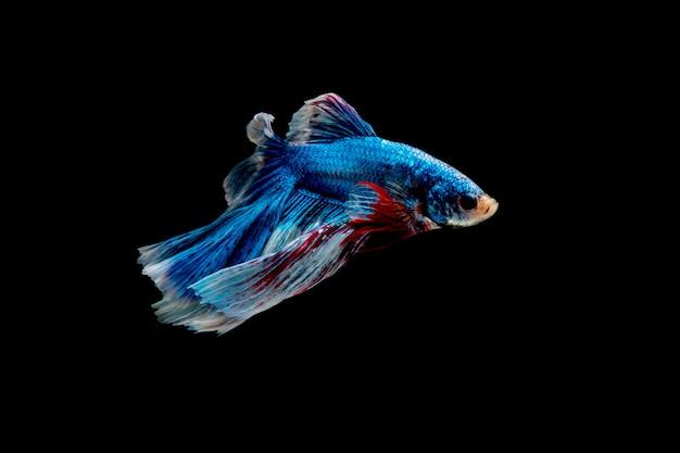 Movimiento de los peces betta siameses aislado sobre fondo negro.
