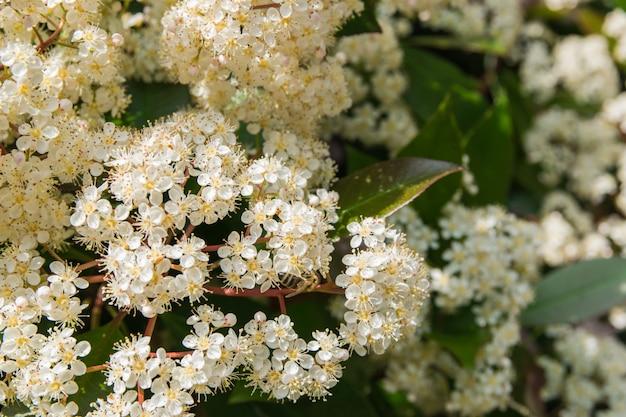 Mucha primavera flores blancas.