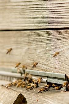 Muchas abejas regresan a la colmena y entran en la colmena.