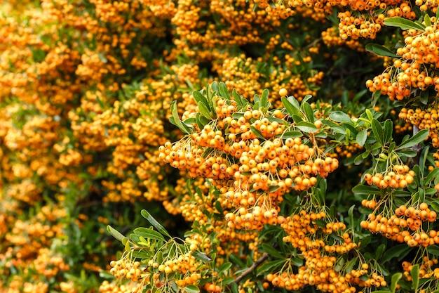 Muchas bayas de espino cerval maduras en el primer de las ramas. poca profundidad de campo.