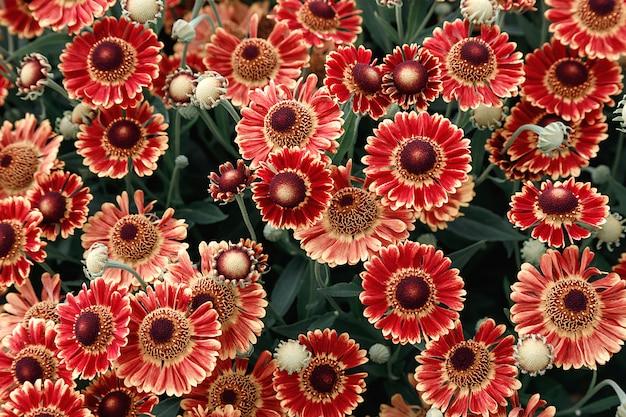 Muchas coloridas flores de temporada de aster.