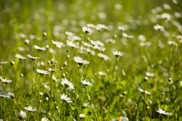 Muchas margaritas en un prado verde