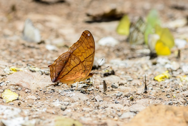 Muchas mariposas pieridae recolectando agua en el piso