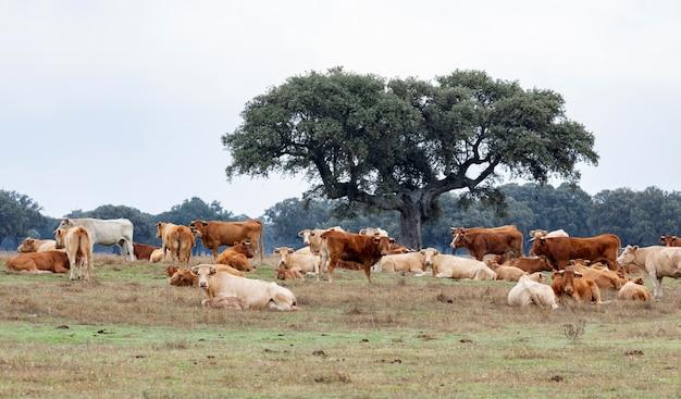 Muchas vacas pastando y descansando.