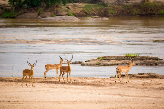 Muchos antílopes parados cerca del río.