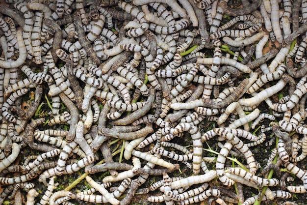 Muchos gusanos de seda textura comiendo hojas de morera