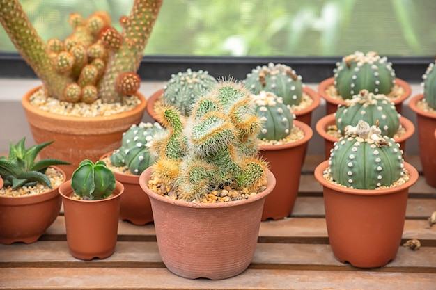 Muchos pequeños cactus para planta decorativa en mesa.