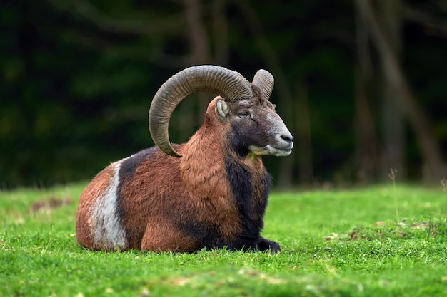 Muflón europeo grande en el hábitat natural