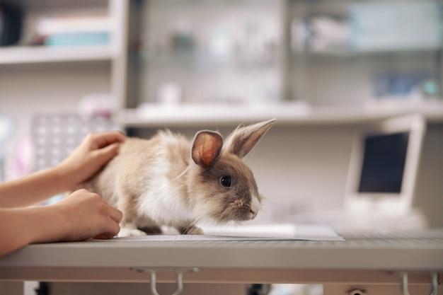 Mujer acaricia conejo sentado en la mesa en la clínica veterinaria contemporánea closeup