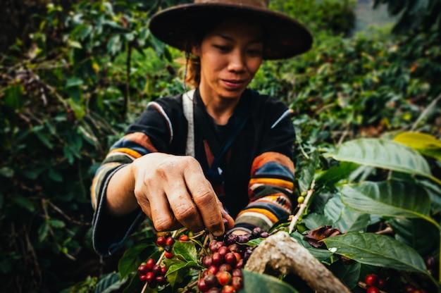 Mujer agricultor cosecha café cereza arábica en plantación de café. prohíba pang khon al norte de chiang rai, tailandia.