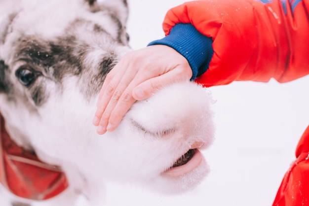 Mujer alimentando un reno en invierno