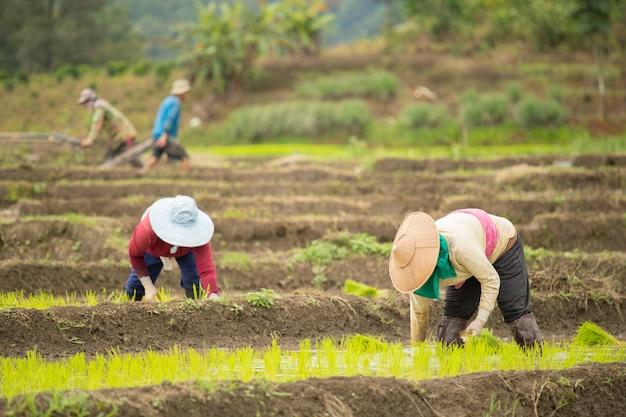 Mujer asiática en el campo de arroz, granjero siembra brotes de arroz en tailandia