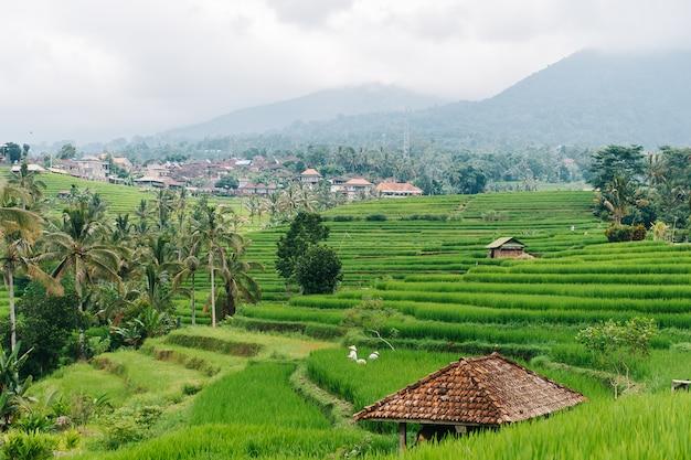 La mujer balinesa trabaja en campos de arroz de la isla de bali, indonesia.