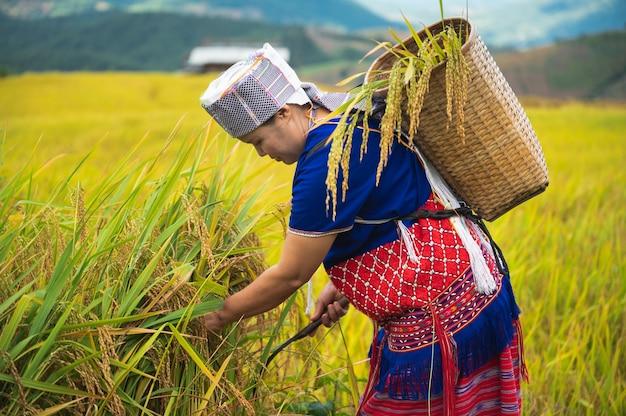 Mujer campesina cosecha de arroz en el norte de tailandia