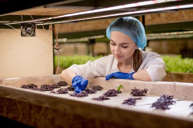 Mujer caucásica observa sobre el cultivo de albahaca roja orgánica en la granja hidropónica de verdes.