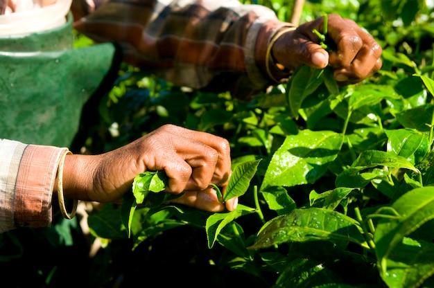 Mujer cosechando hojas de té kerela, india.