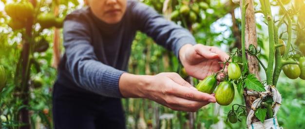Mujer cuidando el cultivo de frutos de tomate en invernadero