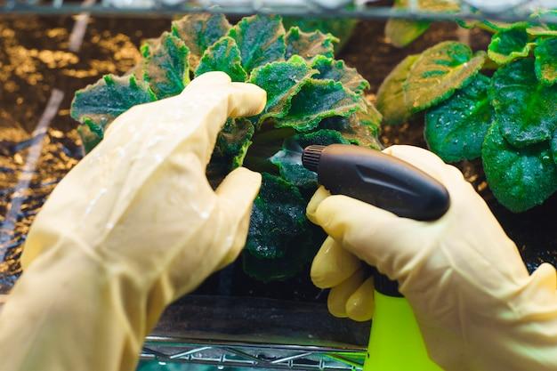 La mujer en los guantes de goma roció las plantas de parásitos en un invernadero casero. control de plagas.