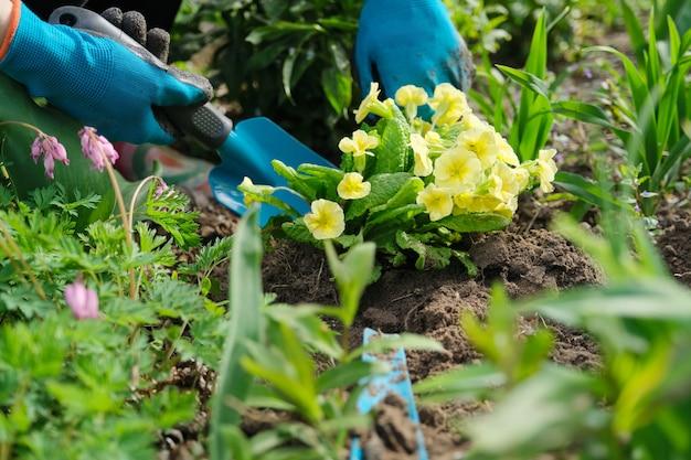 Mujer en guantes con herramientas de jardinería plantar flores de primula en el jardín de primavera