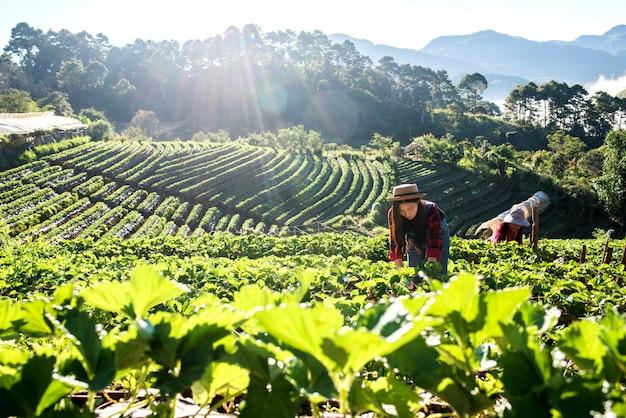Mujer hermosa del granjero que comprueba la granja de la fresa
