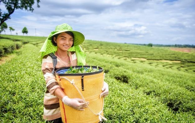 Mujer joven que cosecha las hojas de té, tailandia