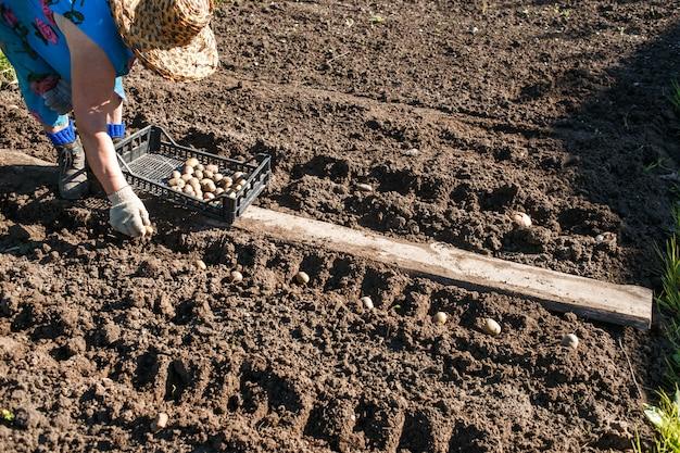 Mujer madura plantar papas en su jardín