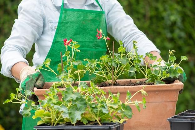 Mujer manos macetas con flores de geranio