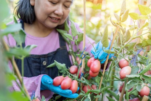 Mujer mayor jubilada feliz y cosecha de tomates rojos en el huerto.