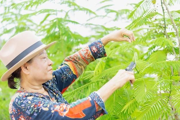 Mujer mayor que cosecha el vehículo orgánico en un huerto casero