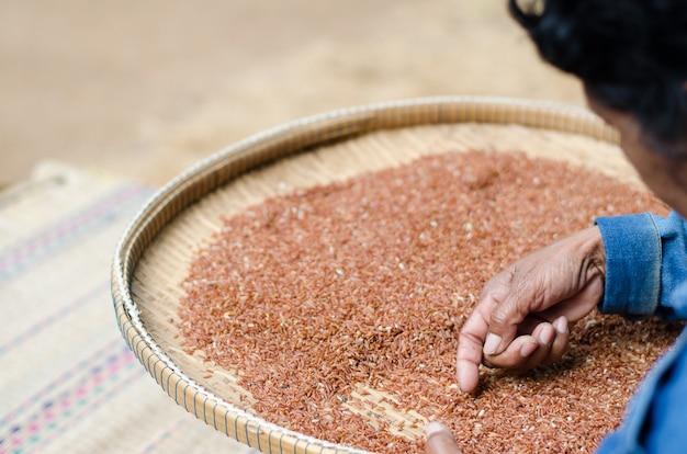 Mujer mayor que selecciona la semilla de la baya del arroz después de secarse en el sol.