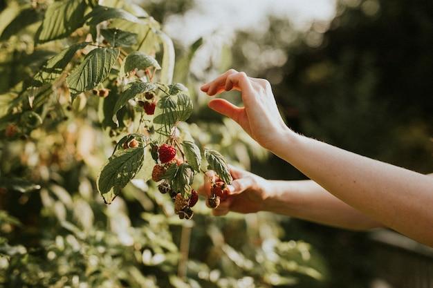 Mujer recogiendo frambuesas del árbol