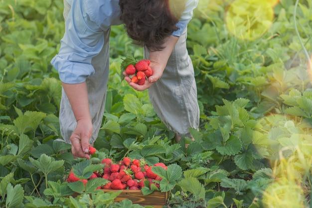 Mujer recogiendo fresas en el campo. las manos de la mujer sostienen fresas.