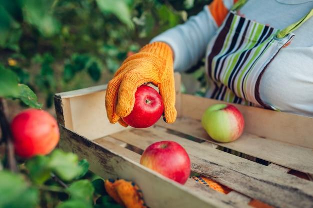 Mujer senior recogiendo manzanas orgánicas maduras en huerto de verano