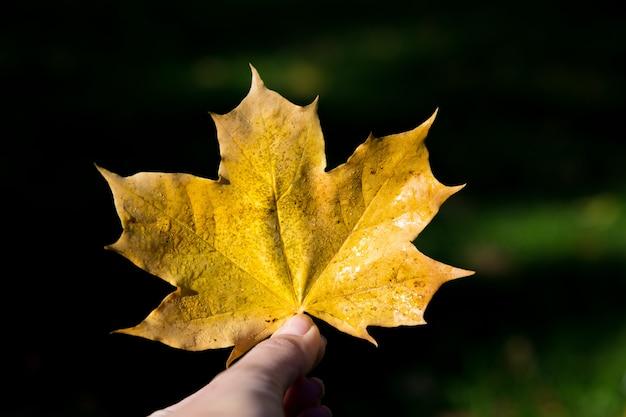 La mujer sostiene la hoja de arce amarilla de otoño