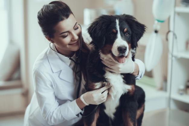 Mujer veterinaria abrazando a sennenhund examinando el corazón