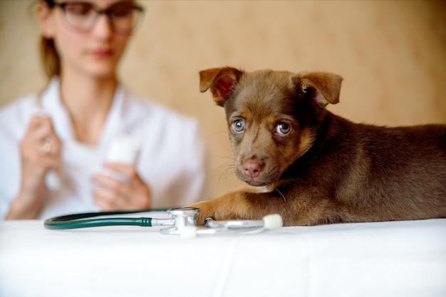 Mujer veterinaria examinando la salud del perro spitz en clínica