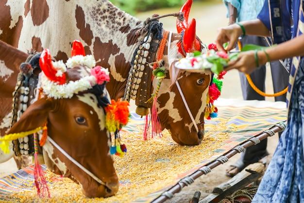 Mujeres indias celebrando el festival pola, festival del buey