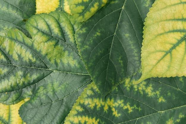 Mulberry verde amarillo hojas de fondo