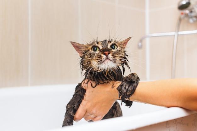 Mullido gato mojado en el baño. sobre un fondo blanco