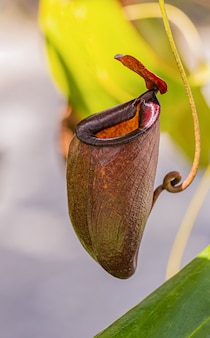 Multi tipo de planta nepenthes
