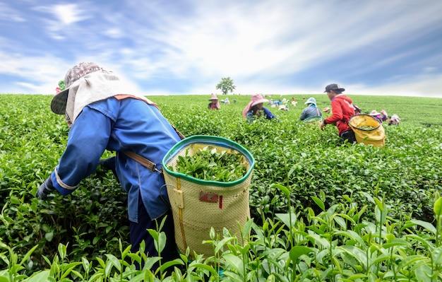 Multitud de recogedor de té recogiendo hojas de té en plantación, chiang rai, tailandia