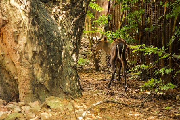Muntjac de fea que habita en el altiplano, bosque de arbustos mixtos. nativo de myanmar y thail