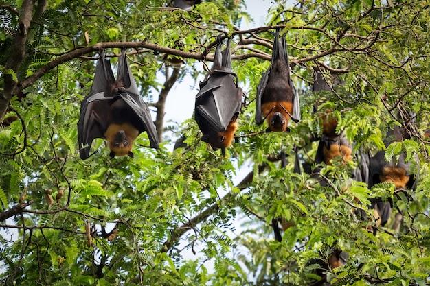 Murciélago gigante de frutas en el árbol