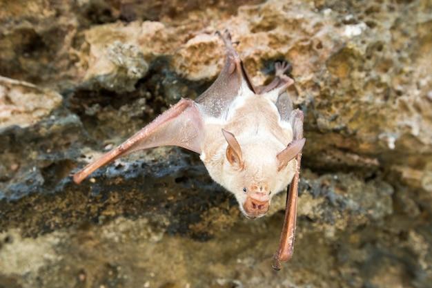 El murciélago vampiro está durmiendo en la cueva que cuelga en el techo