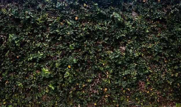 Muro con piel de hojas, muro de cemento con crecimiento de plantas en la superficie.