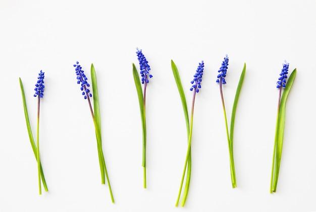 Muscari azul flores sobre una mesa blanca