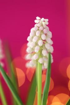 Muscari flores blancas. jacinto de uva flores blancas primer plano