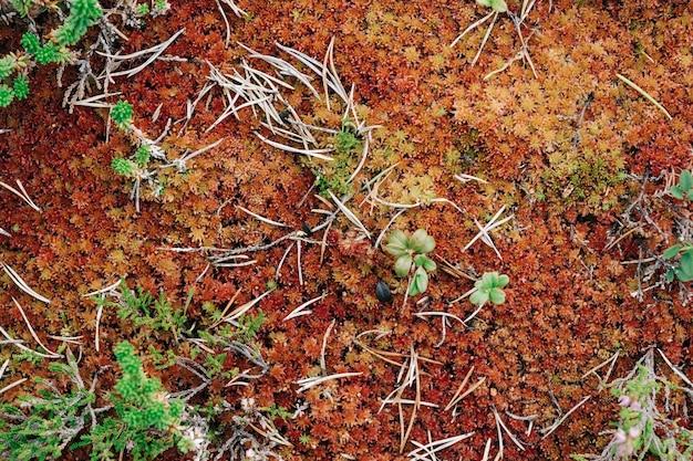 Musgo rojo en el bosque. fondo de naturaleza orgánica