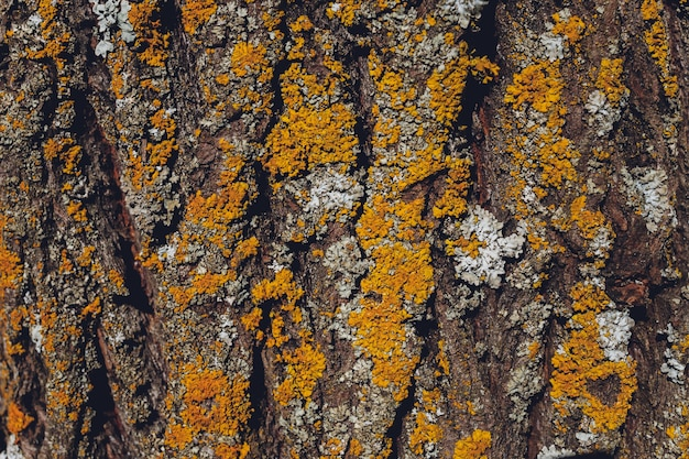 Musgo sobre fondo de corteza de árbol. textura de musgo de primer plano en la superficie del árbol.