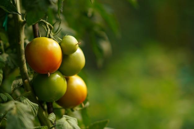 Muy exuberantes tomates de otoño en el jardín del monasterio varlaam en meteora